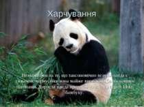 Харчування Незважаючи на те, що таксономічно велика панда є хижаком, харчуєть...