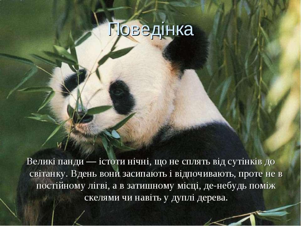 Поведінка Великі панди — істоти нічні, що не сплять від сутінків до світанку....
