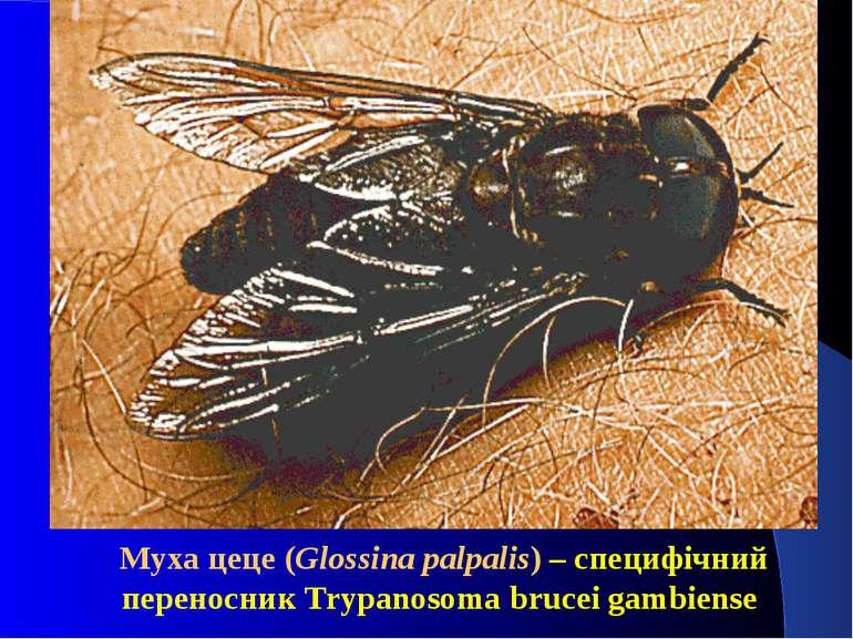 Муха цеце (Glossina palpalis) – специфічний переносник Trypanosoma brucei gam...