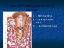 мал. 16 Сітка судин сегменту щелепи I — ясенна зона, II — альвеолярна зона. I...