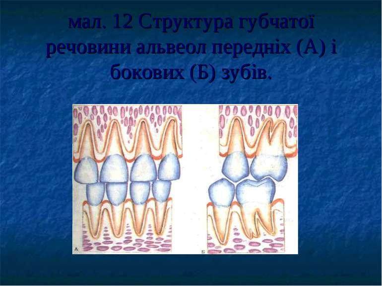 мал. 12 Структура губчатої речовини альвеол передніх (А) і бокових (Б) зубів.