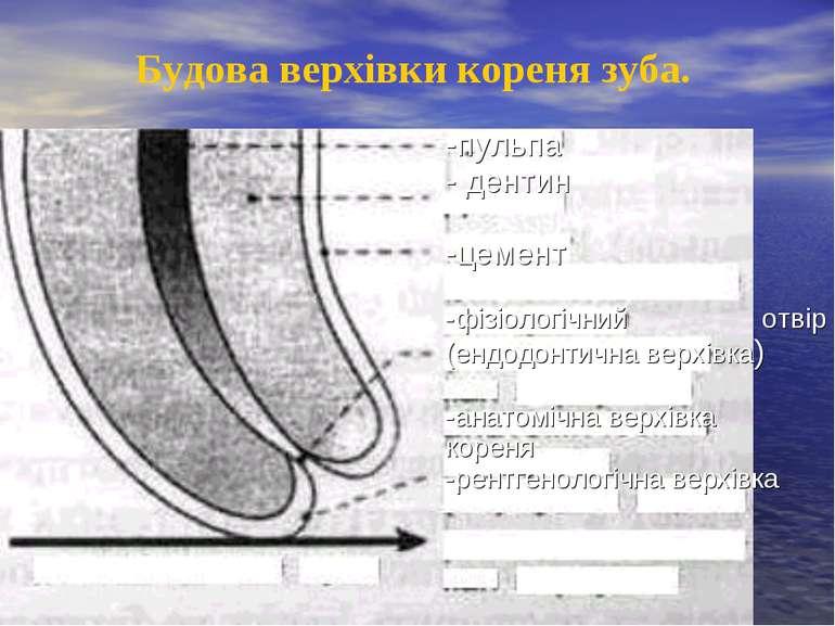 Будова верхівки кореня зуба. -пульпа - дентин -цемент -фізіологічний отвір (е...