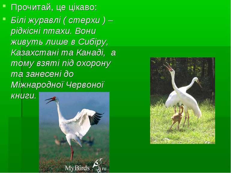 Прочитай, це цікаво: Білі журавлі ( стерхи ) – рідкісні птахи. Вони живуть ли...