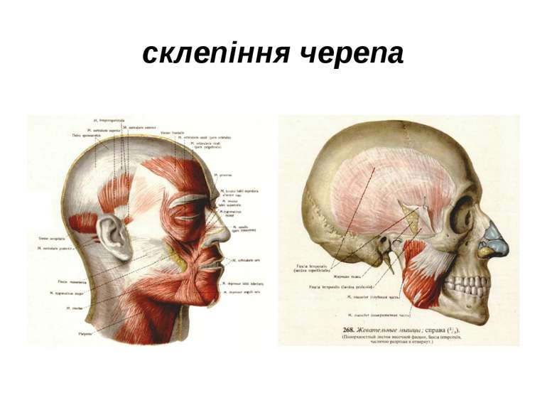 склепіння черепа