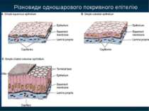 Різновиди одношарового покривного епітелію