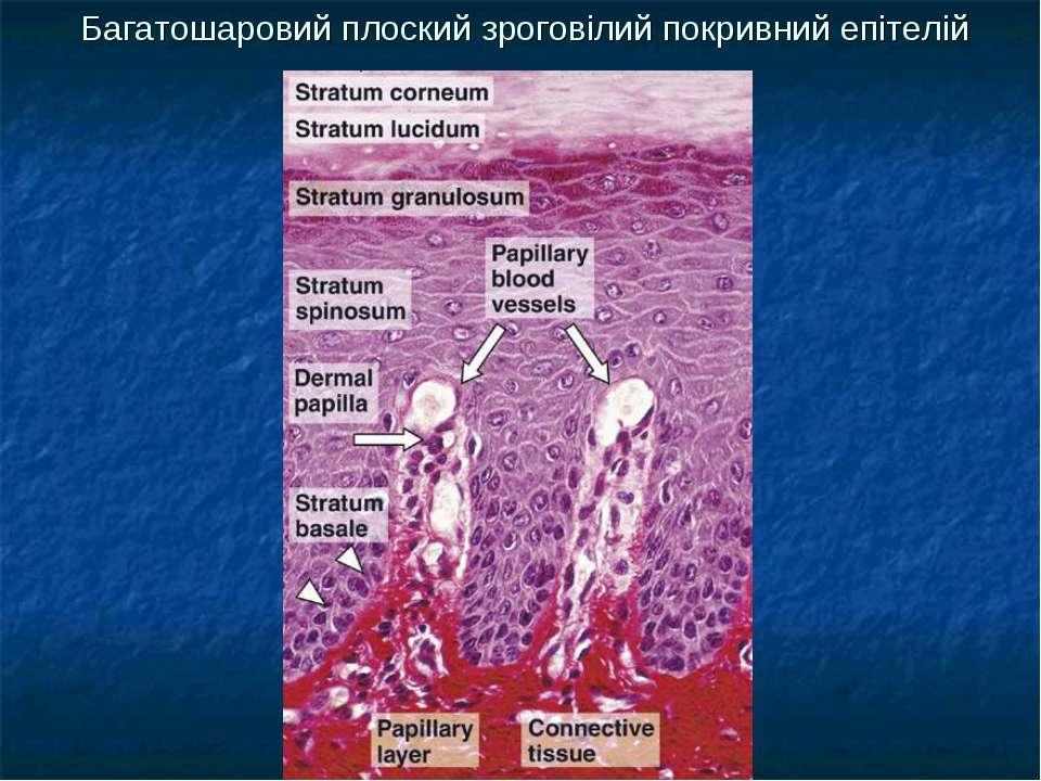 Багатошаровий плоский зроговілий покривний епітелій