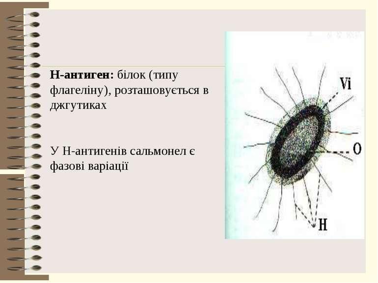Н-антиген: білок (типу флагеліну), розташовується в джгутиках У Н-антигенів с...