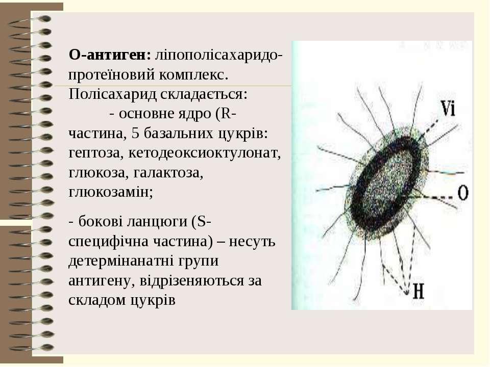 О-антиген: ліпополісахаридо-протеїновий комплекс. Полісахарид складається: - ...