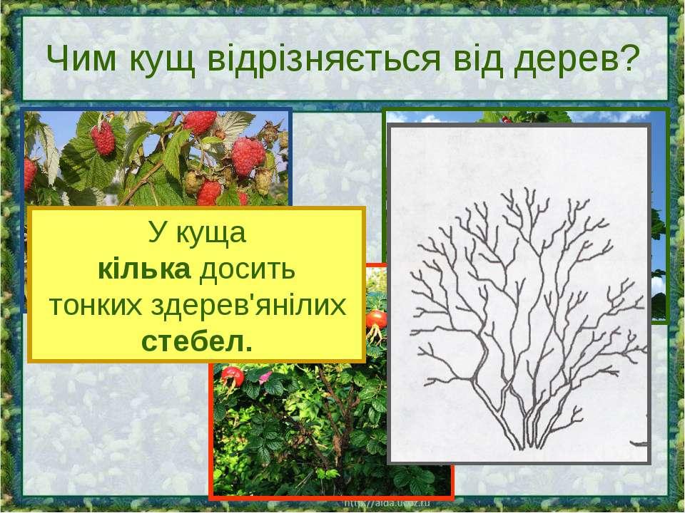 Чим кущ відрізняється від дерев? У куща кілька досить тонких здерев'янілих ст...