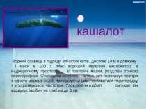 кашалот Bодний ссавець з підряду зубастих китів. Досягає 19 м в довжину і мас...