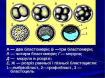 А — два бластомери; Б —три бластомери; В — чотири бластомери; Г— морула; Д — ...