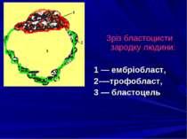 Зріз бластоцисти зародку людини: 1 — ембріобласт, 2-—трофобласт, 3 — бластоцель