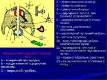 2 – вузол спинного корінця; 3 – пігментні клітини; 4 – симпатичний вузол; 5 –...