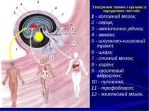 . Утворення тканин і органів із зародкових листків: 1 - головний мозок; 2 - с...