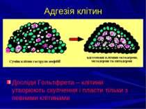 Адгезія клітин Досліди Гольтфрета – клітини утворюють скупчення і пласти тіль...