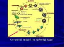 Онтогенез тварин (на прикладі жаби)