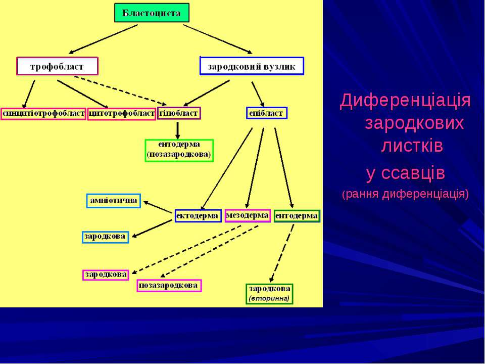 Диференціація зародкових листків у ссавців (рання диференціація)