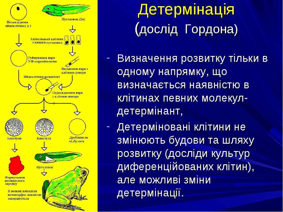 Детермінація (дослід Гордона) Визначення розвитку тільки в одному напрямку, щ...
