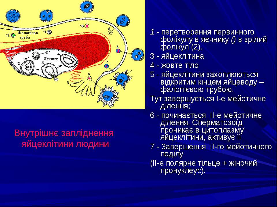 1 - перетворення первинного фолікулу в яєчнику () в зрілий фолікул (2), 3 - я...