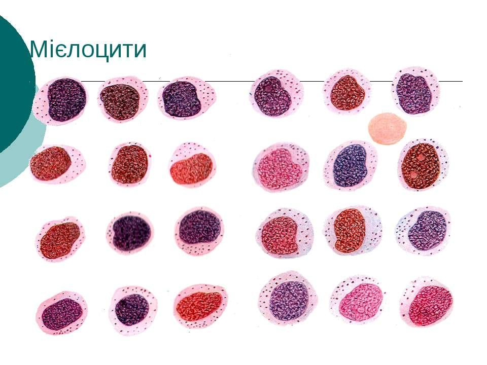 Мієлоцити