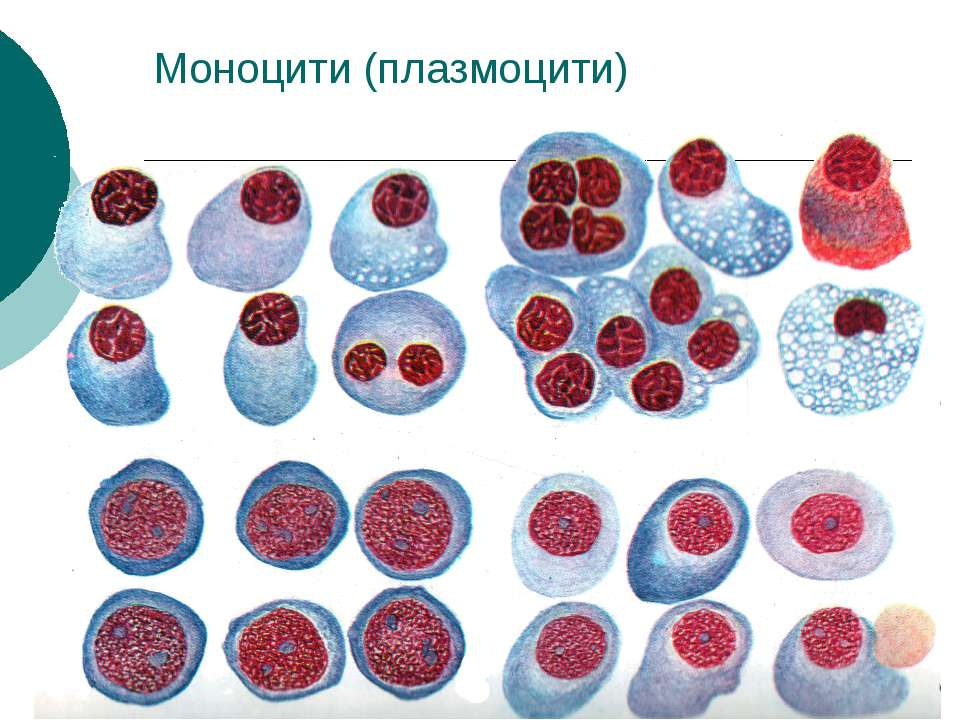 Моноцити (плазмоцити)