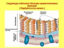 Структура клітинної оболонки грампозитивних бактерій ( Staphylococсus aureus )