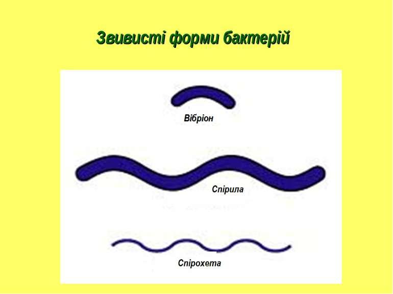 Звивисті форми бактерій