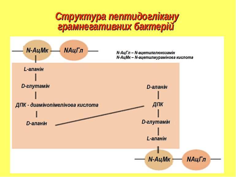 Структура пептидоглікану грамнегативних бактерій