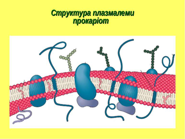 Структура плазмалеми прокаріот