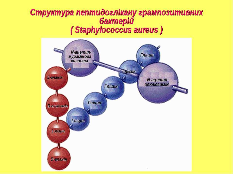 Структура пептидоглікану грампозитивних бактерій ( Staphylococcus aureus )