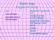 Орган зору (organum visus) Око очне яблуко зоровий нерв з оболонками Додатков...