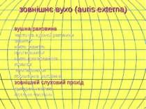 зовнішнє вухо (auris externa) вушна раковина часточка вушної раковини завиток...