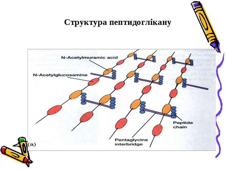 Структура пептидоглікану