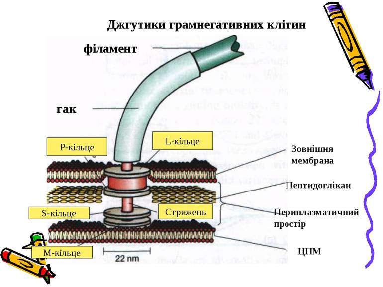 філамент гак L-кільце P-кільце S-кільце M-кільце ЦПМ Периплазматичний простір...