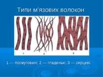 Типи м'язових волокон 1 — посмуговані; 2 — гладенькі; 3 — серцеві.