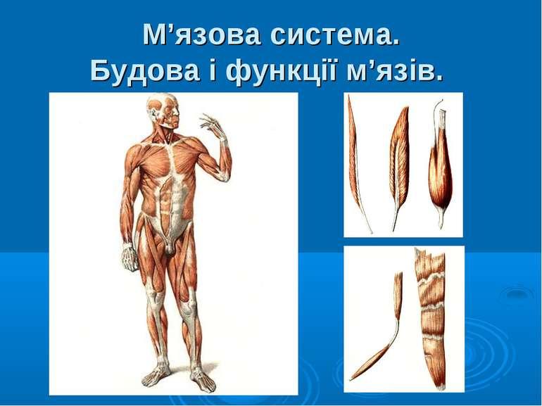 М'язова система. Будова і функції м'язів.