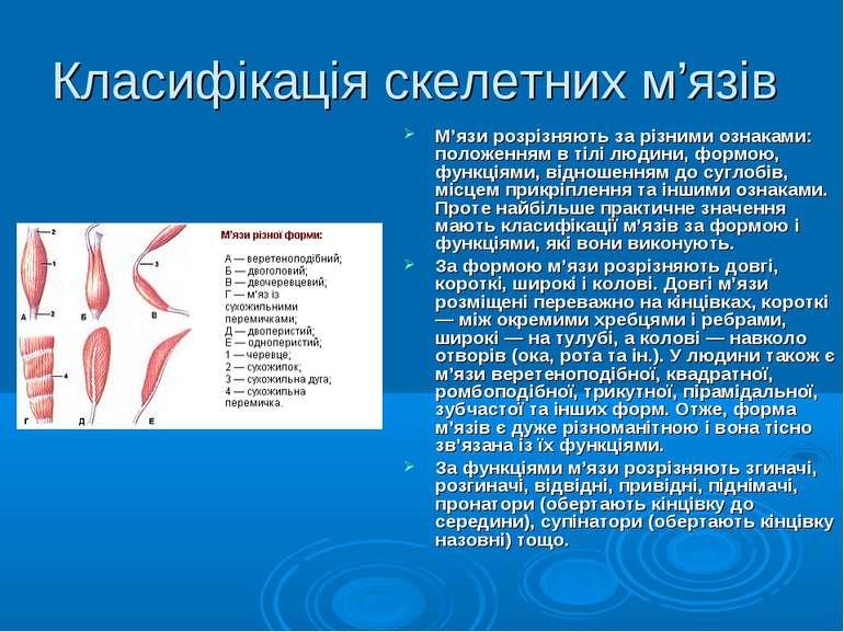 Класифікація скелетних м'язів М'язи розрізняють за різними ознаками: положенн...