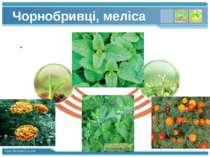 Чорнобривці, меліса www.themegallery.com