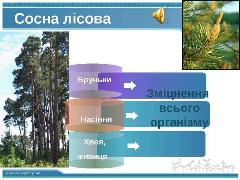 Сосна лісова Бруньки Хвоя, живиця Зміцнення всього організму Насіння www.them...