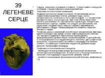 39 ЛЕГЕНЕВЕ СЕРЦЕ Сердце увеличино в размере и в массе. Стенка правого желудо...