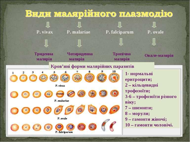 P. vivax P. malariae P. falciparum P. ovale Триденна малярія Чотириденна маля...