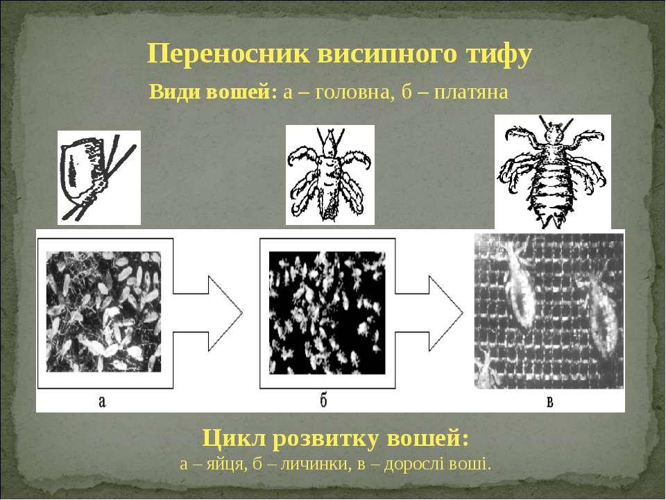 Види вошей: а – головна, б – платяна Цикл розвитку вошей: а – яйця, б – личин...