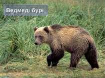 Ведмеді бурі