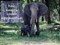 Там живуть слони африканські