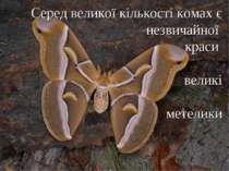 Серед великої кількості комах є незвичайної краси великі метелики