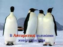 В Антарктиді колоніями живуть пінгвіни