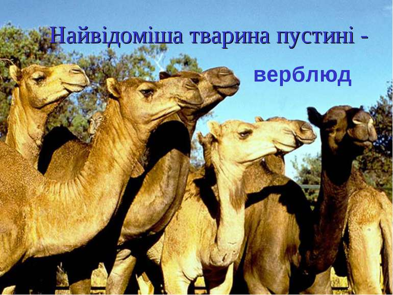 Найвідоміша тварина пустині - верблюд