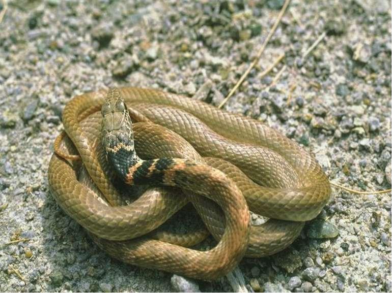 змії Гадюка звичайна гюрза ефа Гадюка рогата щитомордник