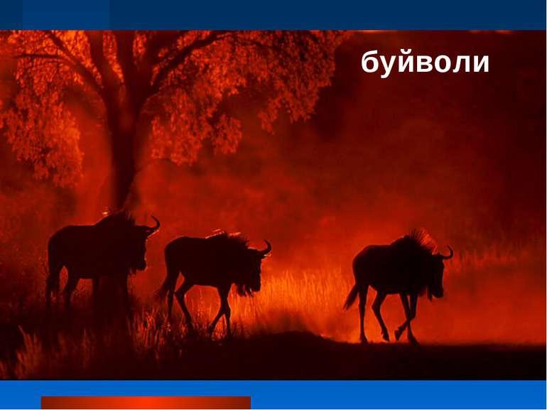 буйволи