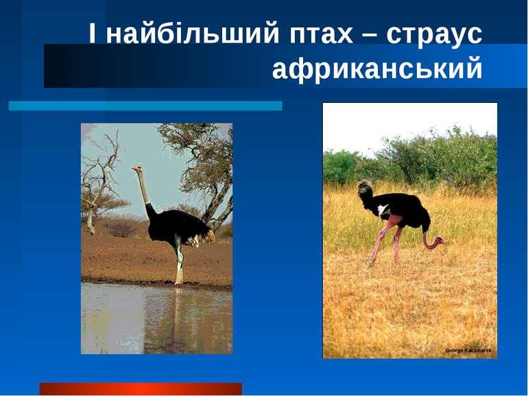 І найбільший птах – страус африканський